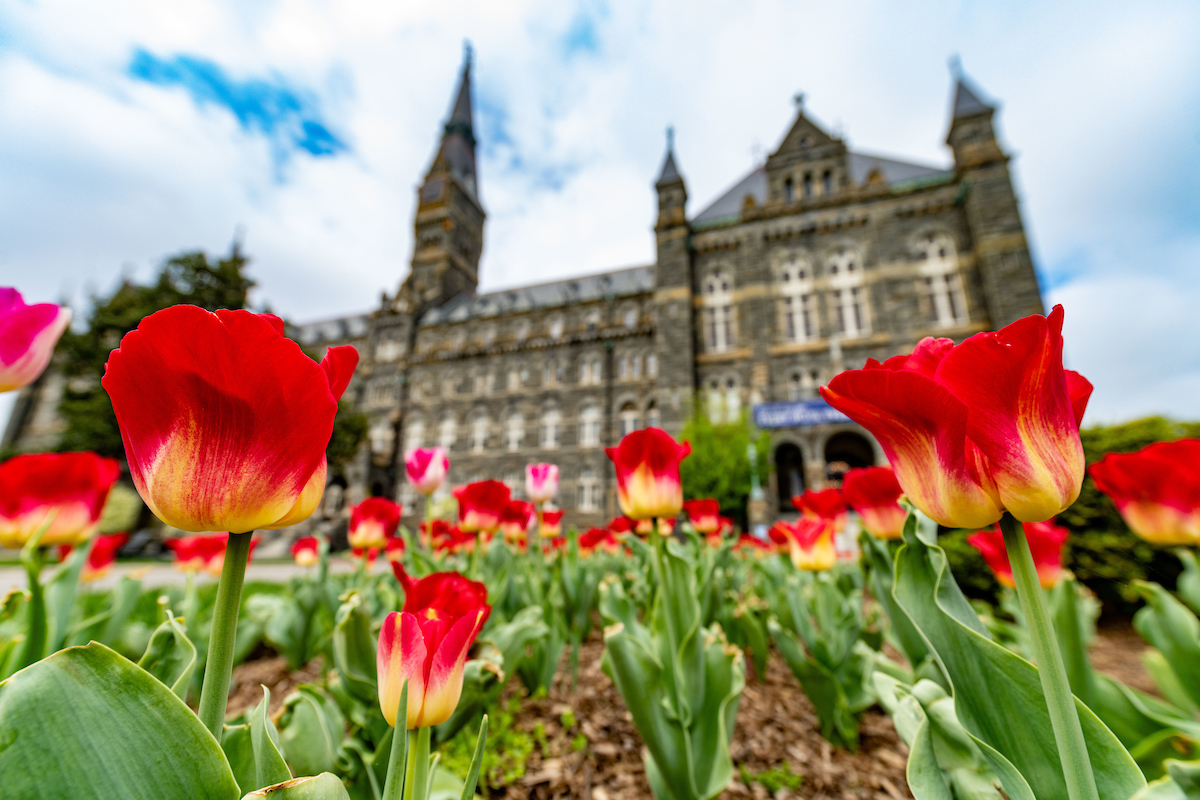 Red and orange tulips with Healy Hall in the background.